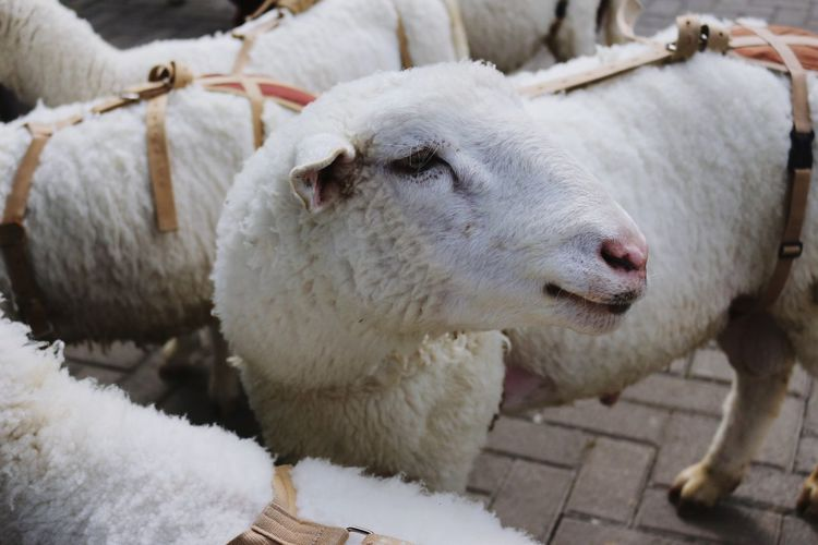 Close-Up Of Sheep On Cobblestone Street