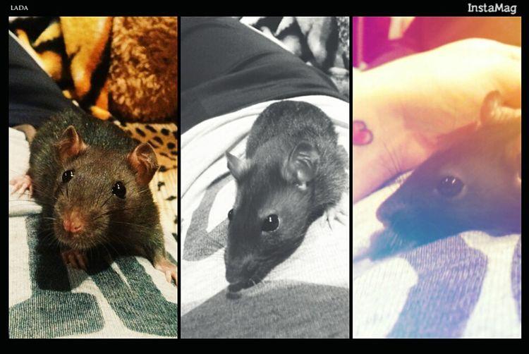 Lada🐀💋❤ Relaxing Love ♥ крыска крыса животные <3 Goodday MyLove❤ Taking Photos популярные фото That's Me мечтасбылась Good Times счастьеесть