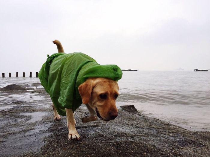 Labrador Wearing Green Dog Coat At Shore