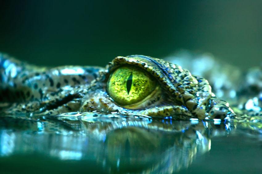 Eye of a Saltwater-crocodile Adventure Animal Themes Animal Wildlife Animals In The Wild Australia Beauty In Nature Close-up Crocodile Crocodylus Porosus Dangerous Day Kakadu National Park Krokodil Nature No People One Animal Outdoors Reptile Saltwater Crocodile Water