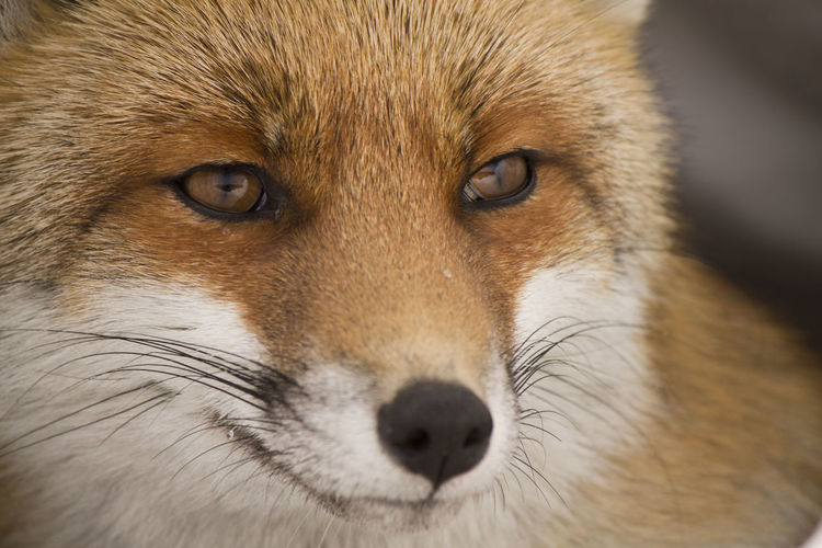 red fox portrait Fox Animal Animal Themes Wildlife Wild Eild Pets Portrait Dog Looking At Camera Alertness Friendship Nose Eye Brown Beauty Animal Nose Snout Animal Eye Animal Head  Adult Animal Animal Body Part Animal Ear Animal Face Animal Mouth Animal Hair Animal Tongue First Eyeem Photo My Best Photo