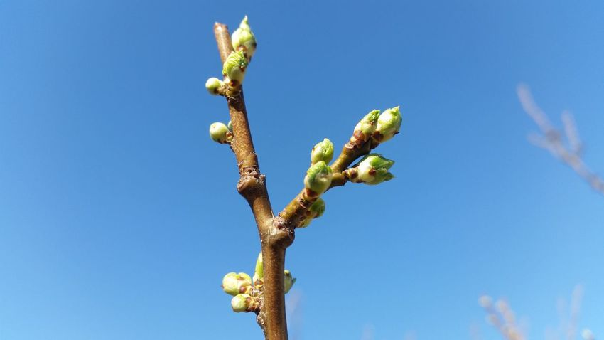 Blue Clear Sky Nature Close-up Growth Plant Outdoors Beauty In Nature No People Day Sky Spring Kidney Tree