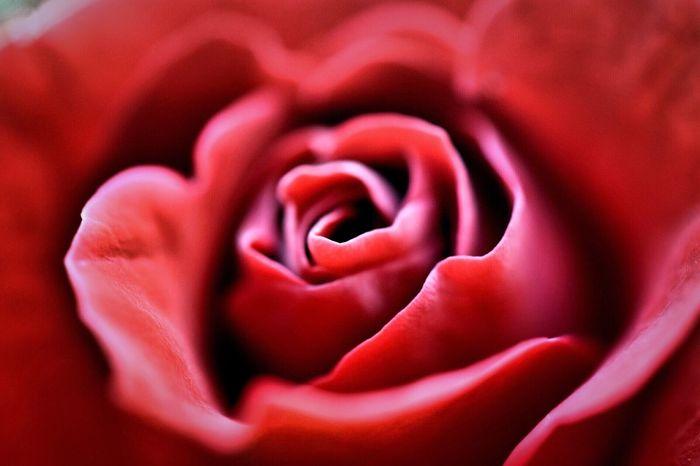 Rose Flower Macro Rosé Rose🌹 Rose - Flower Red Rose Red Rose 🌹 Red Roses Rose Macro Macro Photography Macro Nature