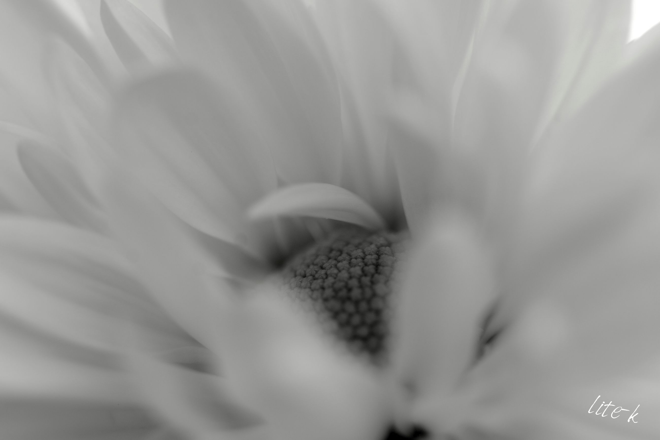 flower, freshness, flower head, petal, fragility, close-up, growth, beauty in nature, selective focus, nature, full frame, plant, blooming, backgrounds, white color, no people, focus on foreground, pollen, single flower, softness