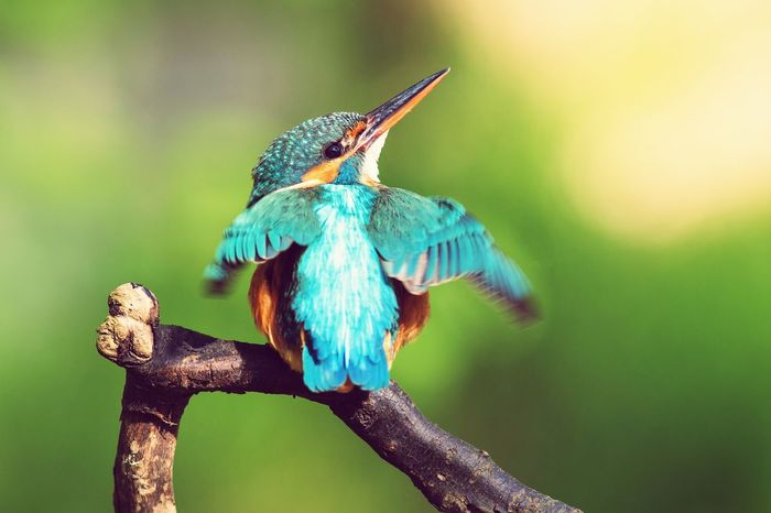 Animal Body Part One Animal Animal Wildlife Bird Animals In The Wild Animal Themes No People Close-up Multi Colored Beauty In Nature Outdoors Spread Wings Nature Kingfisher Bird Photography Birds Birds_collection Birds🐦⛅ Birds Of EyeEm