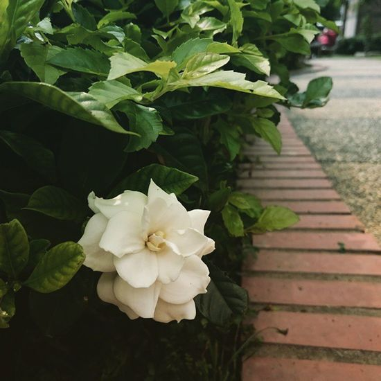 White Flower Blooming 白花 開花