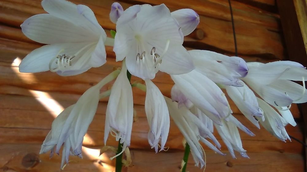 Flowers Close-up No People Flower Nature Beauty In Nature Outdoors Day Hosta Bloom