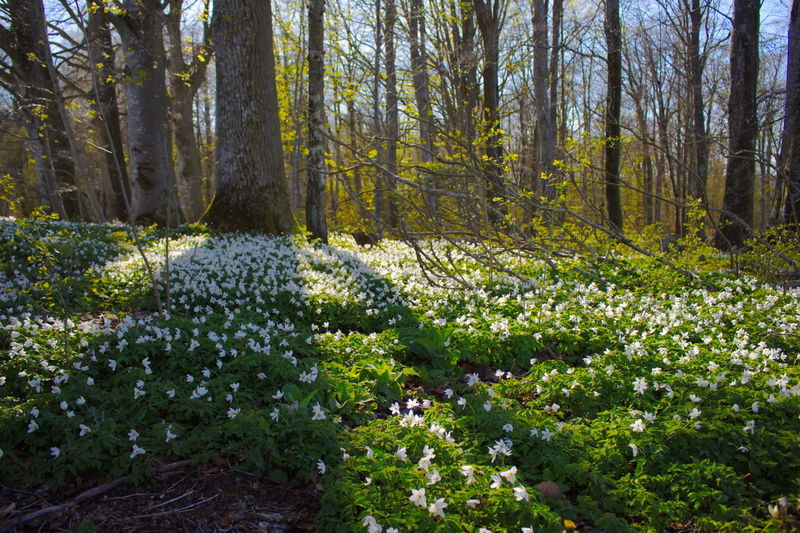 Wood anemones around my house Abundance Beauty In Nature Day Flower Forest Grass Green Green Color Growing Growth Idyllic Landscape Lush Foliage Nature No People Non-urban Scene Outdoors Plant Scenics Sunlight Tranquil Scene Tree Tree Trunk Wood Anemones WoodLand
