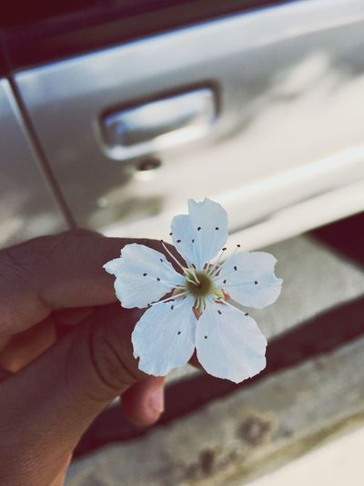 EyeEmNewHere Human Hand One Person Holding Close-up Flower Day Outdoors Flower Head Nature White Flower