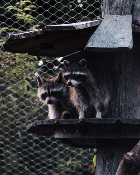 Racoons Mammal