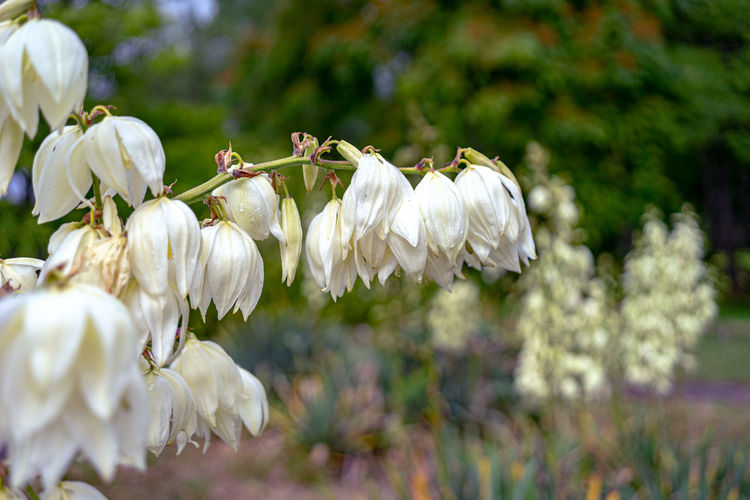 Garten Yucca Blüten Yucca Flower Plant Freshness Flower Flowering Plant Beauty In Nature White Color Vulnerability  Growth Fragility Close-up Focus On Foreground No People Day Nature Petal Tree Selective Focus Garlic Inflorescence Flower Head