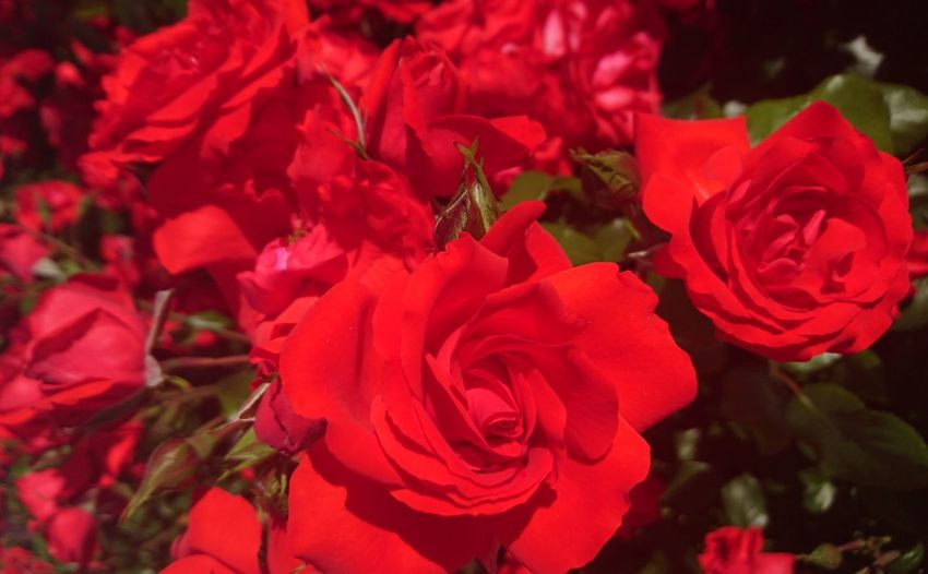Close-up of red roses blooming outdoors