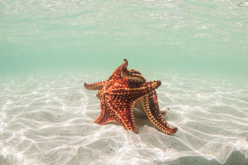 Starfish swimming in sea