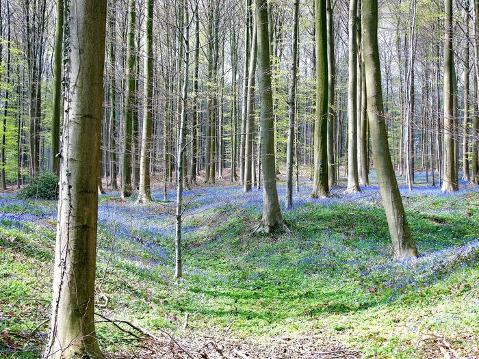 Wild hyacinths with incredible scent flowering one week in April in the forest of Halle, Belgium, Europe Blue, White, Colors, Color, Colours, Colour, Spring, Vista, View, Environment, Environmental, Vacation, Destination, Nature Composition, Composition, Adventure Forestry, Foret, Forests, Tree, Trees, Trunk, Trunks, Walk, Belgium, Halle, Europe Sunny Day, Good Weather, Scent, Forest Wild Hyacinths, Flowers, Meadow, Meadows