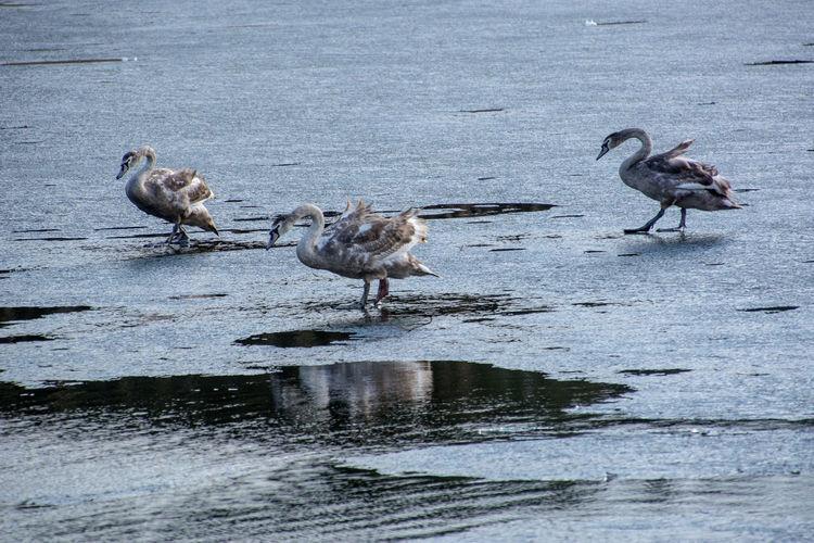 Ducks in lake