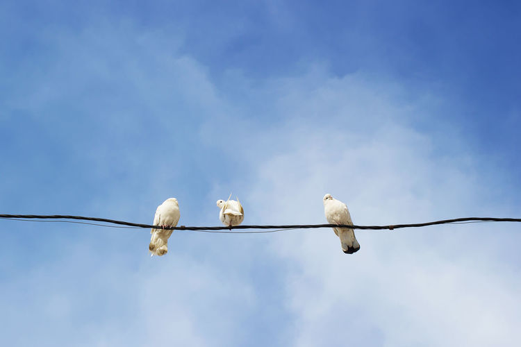 Bird Vertebrate Animal Themes Sky Cable Cloud - Sky Group Of Animals No People Power Line  Electricity  Day Nature Connection White Color Outdoors Power Supply Telephone Line Wire Pigeon Pigeons Peace My Best Photo Analogue Sound Streetwise Photography