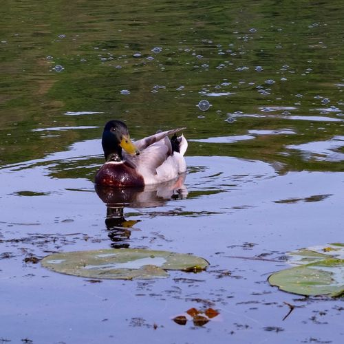 High angle view of duck drinking water in lake