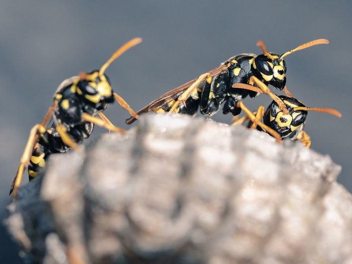 Wasps building