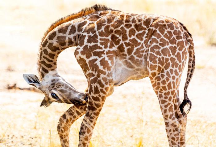 Baby Giraffe Animal Animal Body Part Animal Markings Animal Neck Animal Themes Animal Wildlife Animals In The Wild Day Domestic Animals Giraffe Herbivorous Mammal Nature No People One Animal Outdoors Safari Sunlight Vertebrate