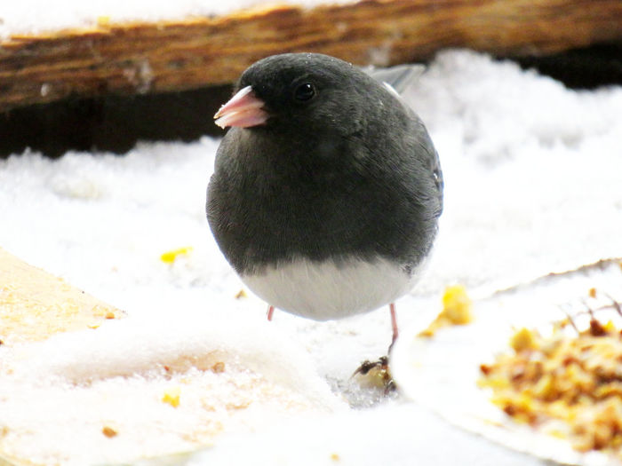 Dark-eyed Junco in winter, eating bird seeds Dark-eyed Junco Dark-eyed Junko Dark-eyed Junco, Bird, Outdoors, Winter, Snow, Great Laurel, Green, Bird Snow Animal Themes Animal One Animal Vertebrate Animals In The Wild Winter Cold Temperature Animal Wildlife Day Nature Close-up White Color No People Covering Focus On Foreground Frozen Land