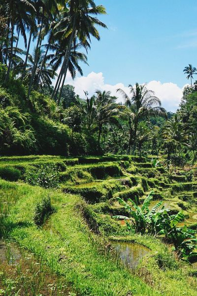 Rice Sunny Plantage Rice Fields  Outdoors Tranquil Scene Palm Tree Green Color Nature Landscape Plant Tourism Ubud Bali INDONESIA