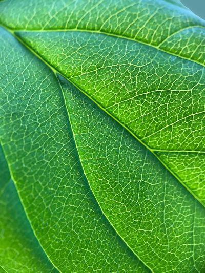 Leaf Backgrounds Green Color Close-up Full Frame Nature Freshness No People Day Beauty In Nature Outdoors The Great Outdoors - 2017 EyeEm Awards EyeEmBestPics EyeEm Gallery Eye4photography  Fragility Nature Photography Nature_collection EyeEm Nature Lover Macro Photography Macro Beauty Freshness Macro Nature Nerves Beauty In Ordinary Things