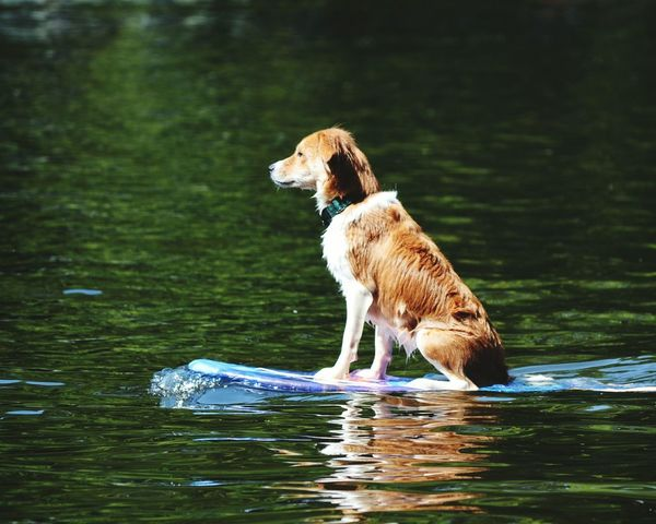 Pet Portraits Dog Animal Pets Domestic Animals Golden Retriever One Animal Water Swimming With The Fish Waterboarding Waterboard Swimming Dog Animal Themes On Water Photography Retriever
