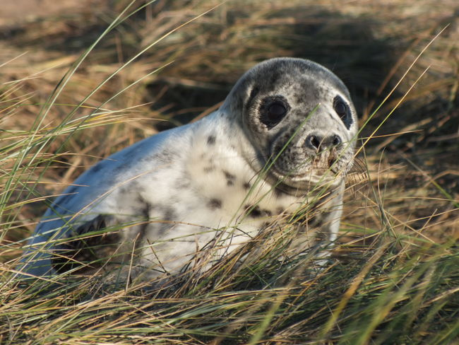 Grey Seal Pup One Animal Animal Wildlife Animals In The Wild Mammal Animal Nature Looking At Camera No People Outdoors Day Close-up Grass Portrait Animal Themes Seal Sealife Grey Sea Grey Seal On Beach Grey Seal And Pup