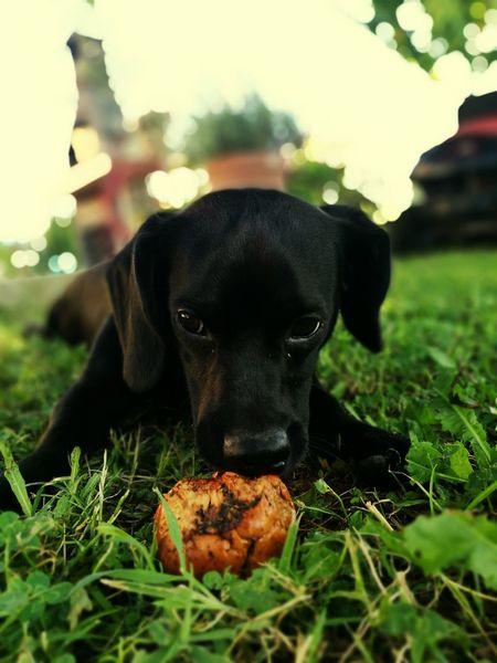 Dog Chien Mignon Apple Play Merlot
