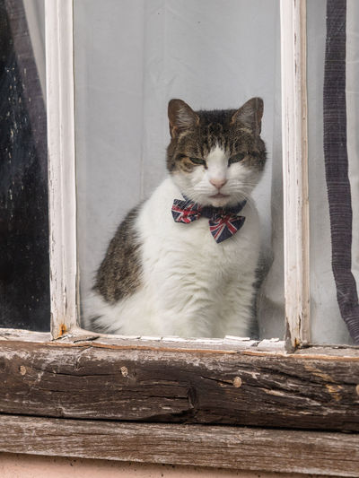 Dapper cat with a union jack bow tie sitting in a medieval cottage window. england, uk.