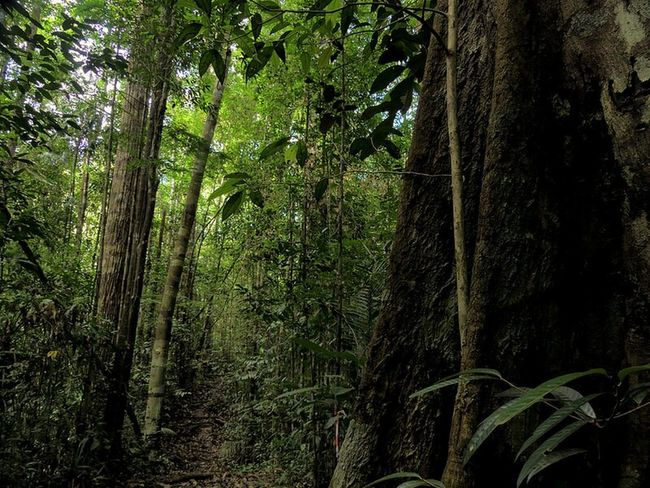 Tropical Paradise Path To Nowhere Trees Collection Forest Trees Borneophoto_hunter Kuching, Sarawak Trekking Nature Love Nature_collection