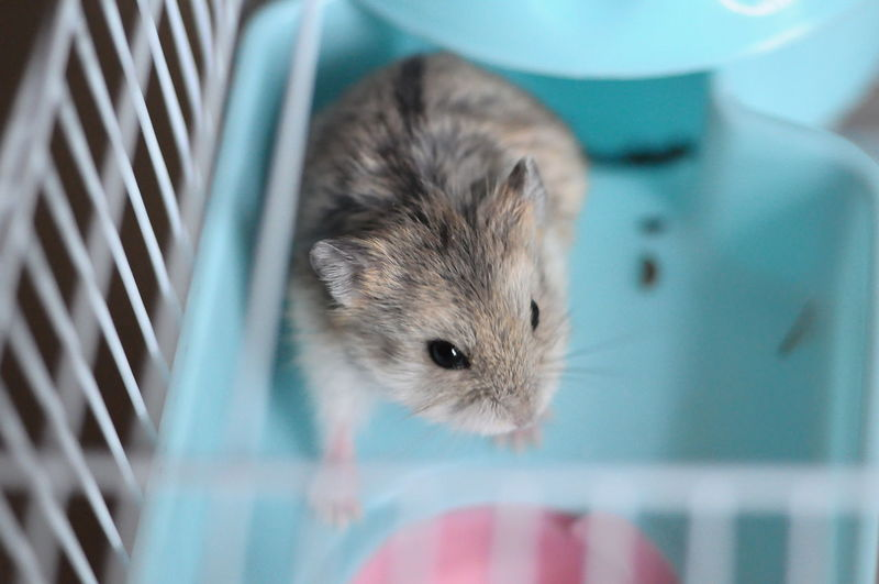 Close-up portrait of a hamster in cage