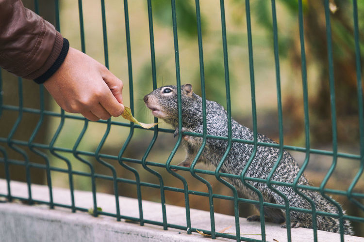 Close-up of hand holding food for an squirrel in cage