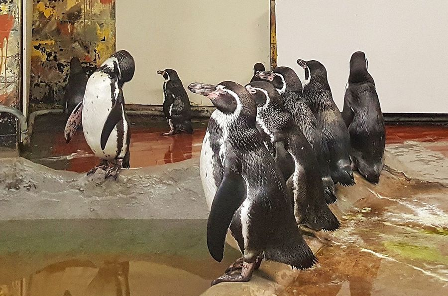 Indoors  No People Day Samsung Samsung Galaxy S6 Edge Pinguin Pinguins  Pinguine
