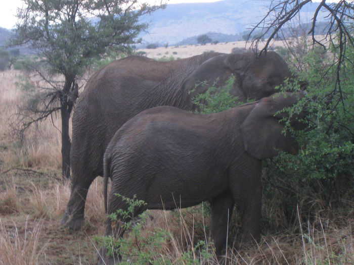 Two Elephants eating grass Animal Themes Animals In The Wild Beauty In Nature Day Elephant Elephant Calf Elephant Nature Park Elephants Grass Growth Mammal Nature No People Outdoors Togetherness Tree Two Elephants Young Animal