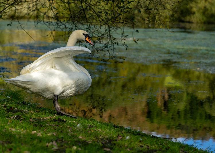 Swan Waving My