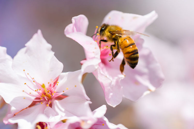 Bees And Flowers Bees Sakura Cherry Blossom Cherryblossoms 桜 Flower Flowering Plant Beauty In Nature Petal Bee Freshness Animal Themes Fragility Invertebrate Animals In The Wild Insect Animal Vulnerability  Close-up Plant Animal Wildlife Flower Head One Animal Growth Pollination No People Pollen Outdoors Springtime Bumblebee