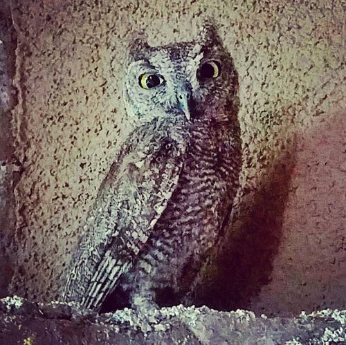 A Tucson screech owl chills Tucson, AZ Screech Owl First Eyeem Photo The Great Outdoors - 2017 EyeEm Awards