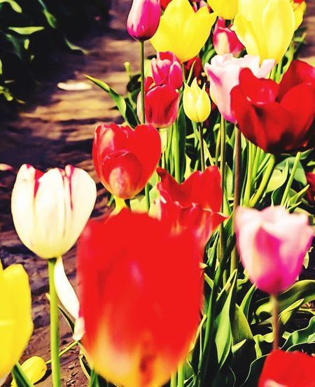 My Favorite Photo I had forgotten I had photo left from my visit to the Tulip Festival I was Inspired By A Fellow Photographers Photo so I am posting this 🌹😊 No Filter No Edits Notes From The Underground Colorful NW Tulips PNW Beauty WoodburnTulip Festival Beauty In Nature Spring In The Pacific NW Tulip Wonderland PNW LOVE Travel Oregon  2016 Photography BucketList