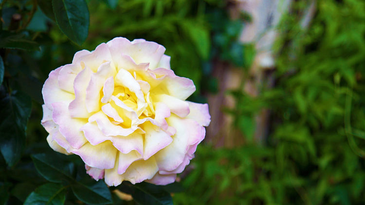 Giant yellow rose with pink petal tips Beauty In Nature Blooming Blossom Close-up Contrast Flower Flower Head Flowers Focus On Foreground Garden Garden Wall Gardening Green Color Nature No People Outdoors Petal Pink Pink Color Plant Rose - Flower Roses Rose🌹 Spring Yellow