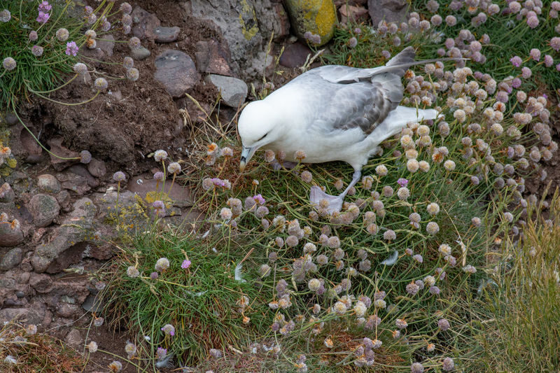 Fulmar (Fulmarus glacialis) nesting on a cliff edge Fulmar Animal Animal Themes Animal Wildlife Animals In The Wild Beauty In Nature Bird Day Field Fulmarus Glacialis Growth High Angle View Land Nature No People One Animal Outdoors Perching Plant Seagull Vertebrate White Color