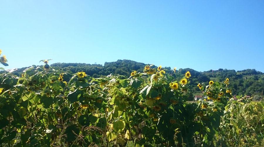 Yellow flowers growing in field against clear blue sky