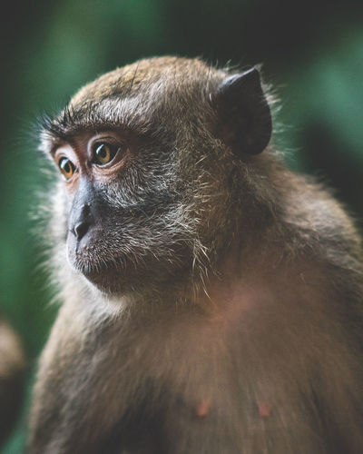 Humanish Primate Animal Themes Mammal Monkey Animals In The Wild Animal Wildlife One Animal No People Close-up Day Outdoors Ape Nature Traveling Travel Kuala Lumpur Showcase: March Malaysia ASIA Wanderlust Portrait Be. Ready.