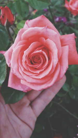 Freshness Flower Rose - Flower Petal Plant Nature Flower Head Growth High Angle View Day Outdoors Leaf Beauty In Nature Close-up Pink Color Red Fragility No People Peony