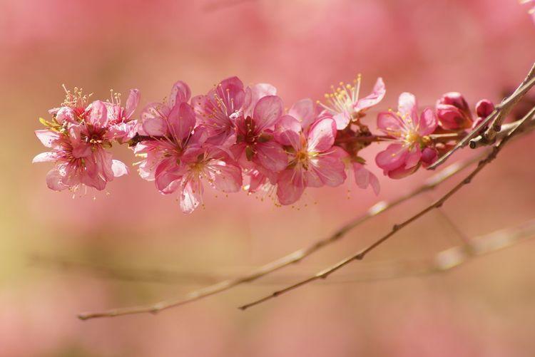 Flower Head Tree Flower Branch Beauty Springtime Pastel Colored Natural Parkland Pink Color Fine Art Painting