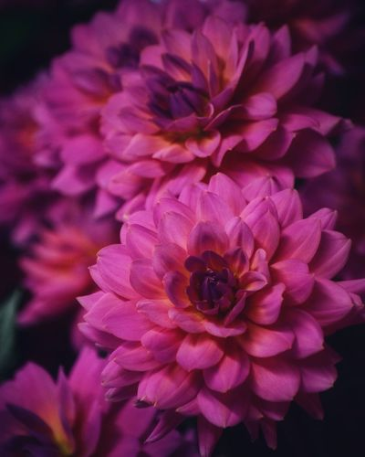 Flowering Plant Flower Petal Vulnerability  Fragility Flower Head Plant No People Focus On Foreground Dahlia Pollen Purple Nature Pink Color Growth Close-up Beauty In Nature Freshness Inflorescence