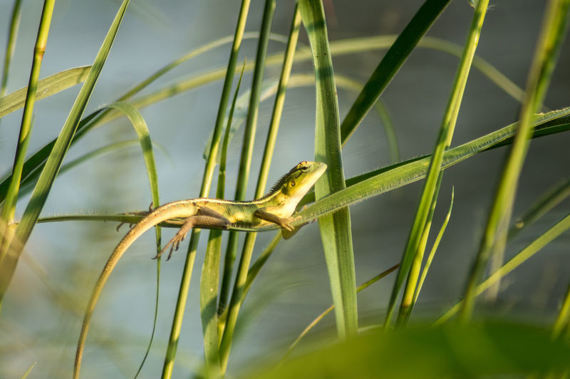 Lizard Animal Animal Themes Animal Wildlife Animals In The Wild Blade Of Grass Close-up Day Grass Green Color Growth Invertebrate Nature No People One Animal Outdoors Plant Plant Part Selective Focus Side View Sunlight Vertebrate