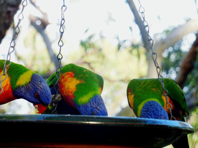 Rainbow Lorikeets are Hungry 🌾 Lorikeet Lorikeets Lorikeet Bird Rainbowlorikeet Bird Bird Photography Birds_collection Birdwatching Australia Eating