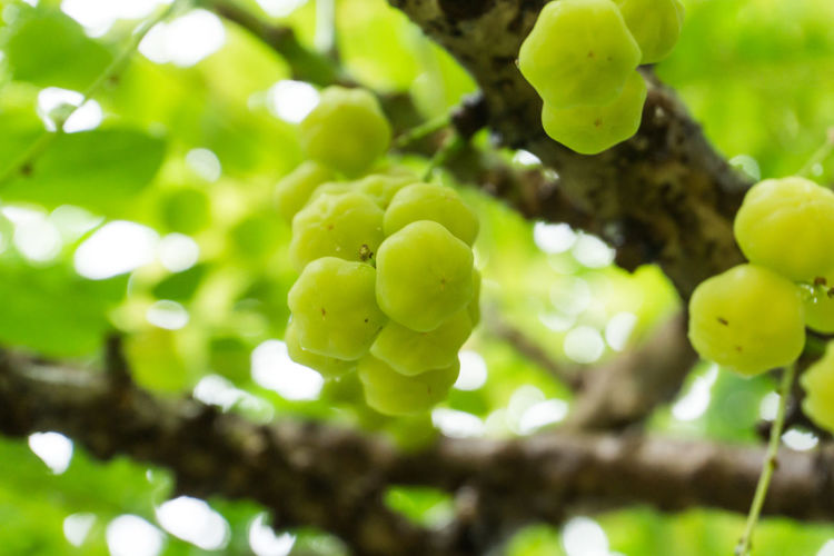 Star Gooseberry Agriculture Beauty In Nature Branch Close-up Day Focus On Foreground Food Food And Drink Freshness Fruit Grape Green Color Growth Leaf Low Angle View Nature No People Outdoors Plant Tree Unripe