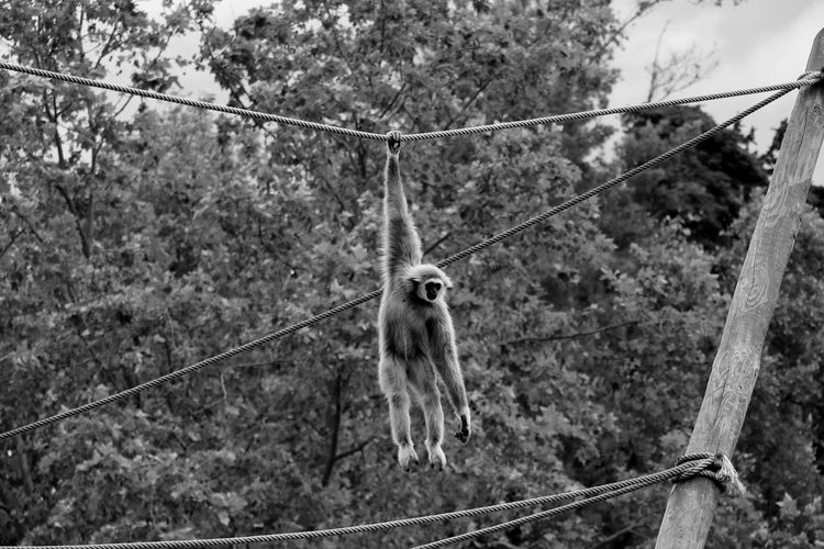 Low angle view of gibbon hanging from rope against trees at zoo
